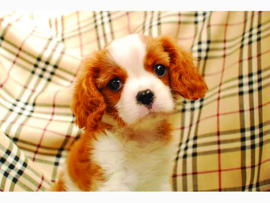 子犬カレンダー ☆キャバリア☆