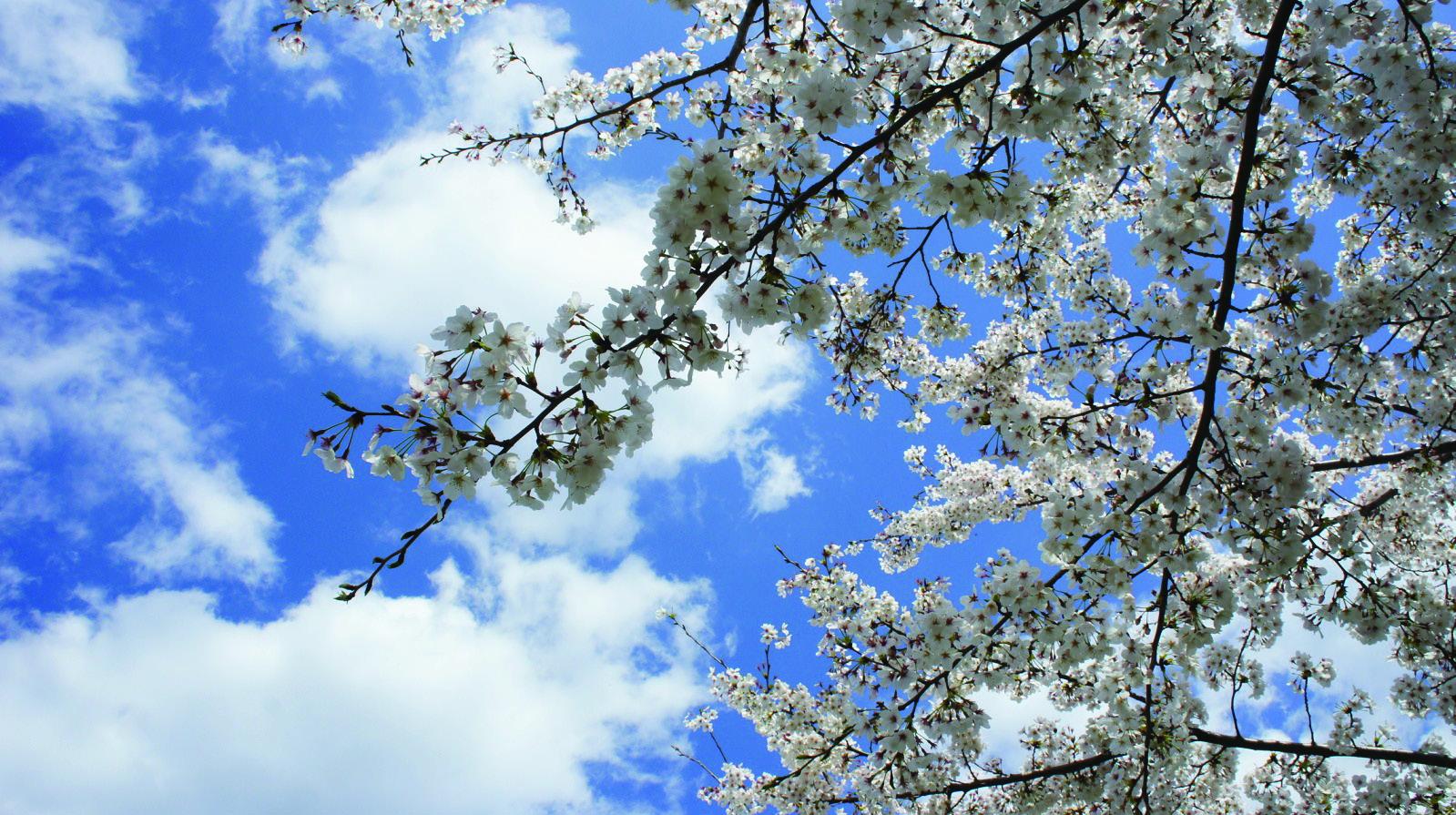 季節の花カレンダー 〈善福寺川/染井吉野〉