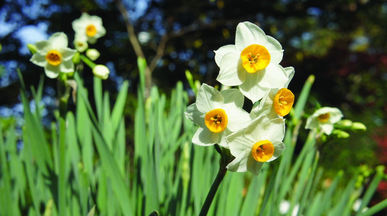 季節の花カレンダー 〈新宿御苑/日本水仙〉