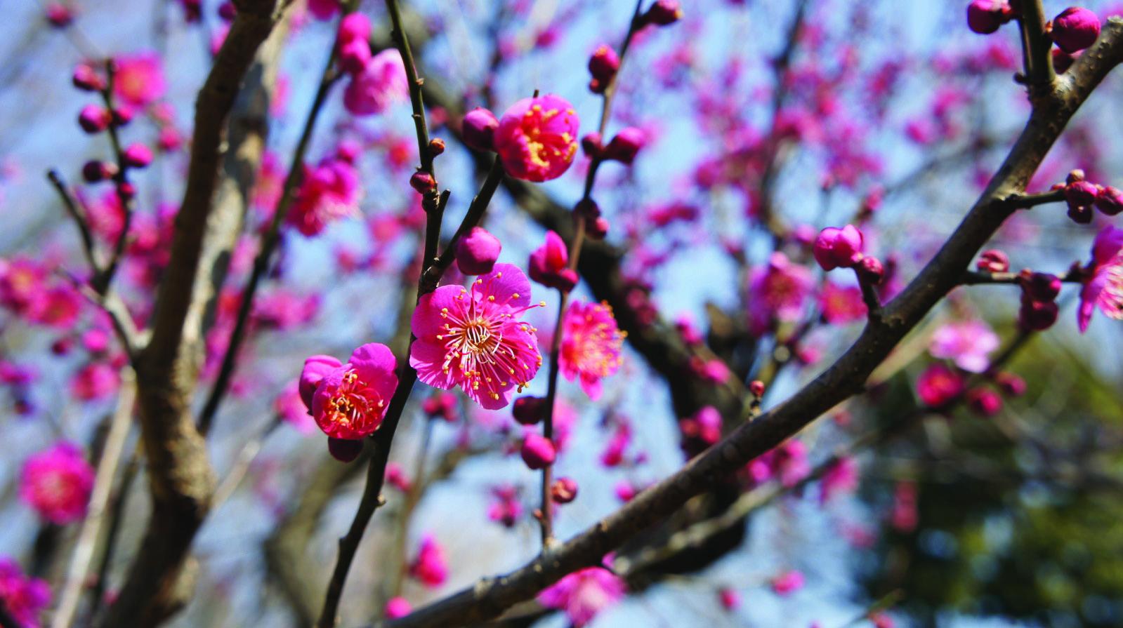 季節の花カレンダー 〈太田黒公園/紅梅〉